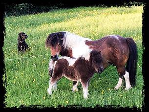 Cornerways Miniature Shetland Ponies