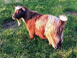 Pollyanna Pygmy Goats Portia