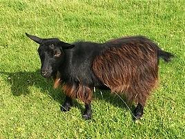 Pollyanna Pygmy Goats Pansy
