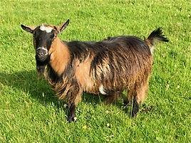 Pollyanna Pygmy Goats Gemstone