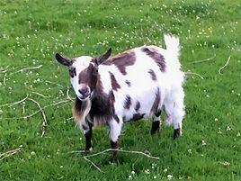 Pollyanna Pygmy Goats Spotty