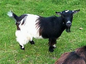 Pollyanna Pygmy Goats Peggy