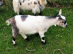 Pollyanna Pygmy Goats Petunia