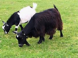 Pollyanna Pygmy Goats Arkela