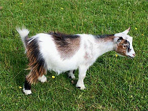 Pollyanna Pygmy Goats Podge