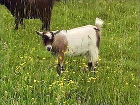 Pollyanna Pygmy Goats Peony