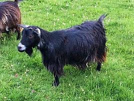 Pollyanna Pygmy Goats Rainbow