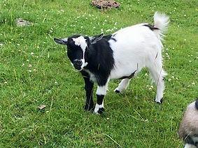 Pollyanna Pygmy Goats Primrose