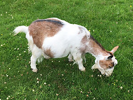Pollyanna Pygmy Goats Squirtle