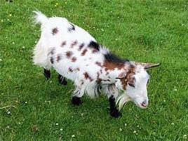 Pollyanna Pygmy Goats Tillie