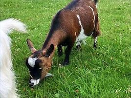 Pollyanna Pygmy Goats Brownie