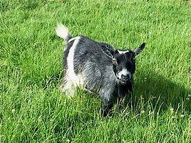 Pollyanna Pygmy Goats Petra