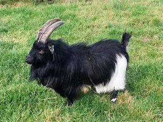 Pollyanna Pygmy Goats