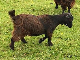 Pollyanna Pygmy Goats Piper
