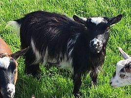 Pollyanna Pygmy Goats Pearl