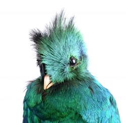 Quetzal k