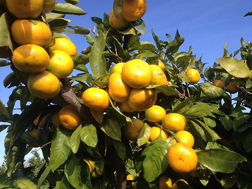 Mandarina 20 kg