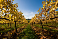Autumn vines, Red Hill South II