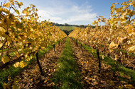 Autumn vines, Red Hill South