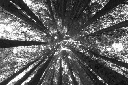 Redwoods in Beech Forest