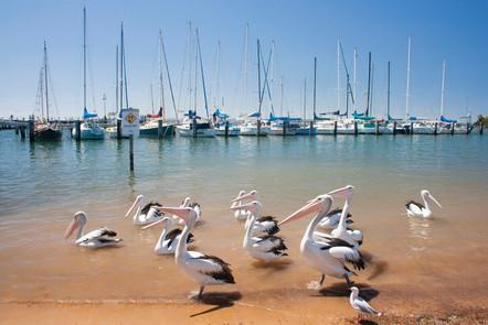 Pretty pelicans at Hastings Pier