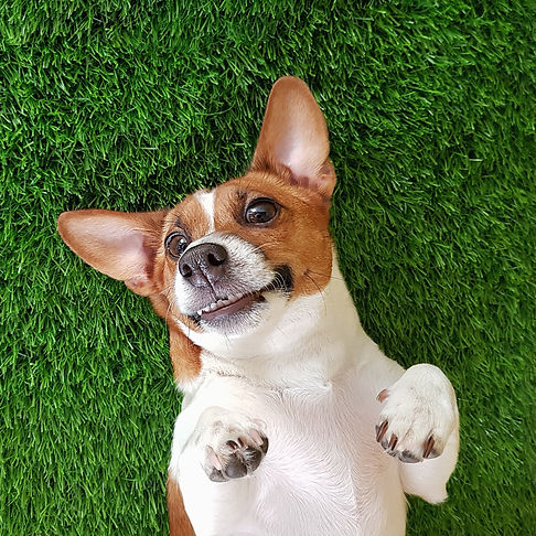 Crazy smiling dog jack russel terrier, lying on green grass. Happy new year._edited.jpg