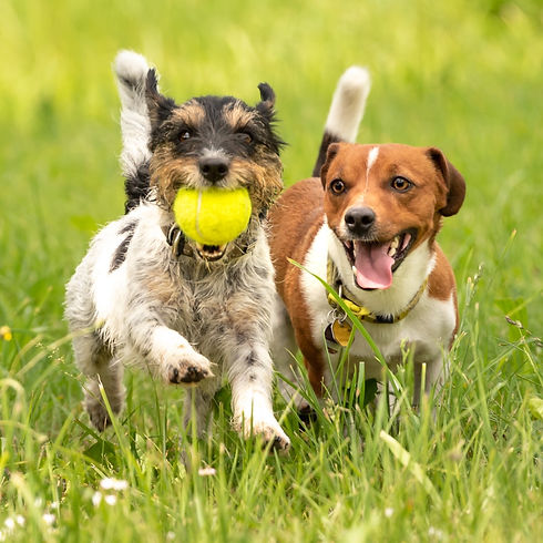 Several dogs run and play with a ball in