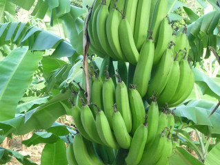 UK Supermarket Mergers and the Saint Lucian Banana
