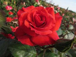 Rose (Charles Dickens)