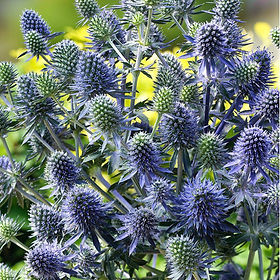 Sea Holly (Silver Ghost)