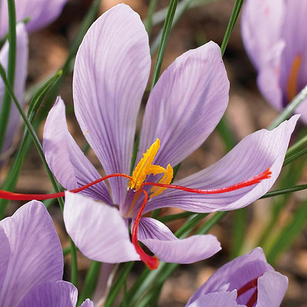 Saffron (Crocus)