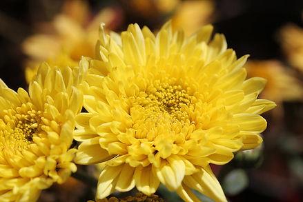 Chrysanthemum (yellow)