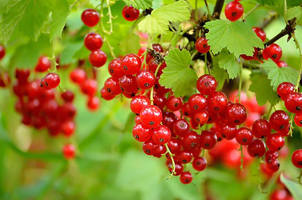 Branch of Currants