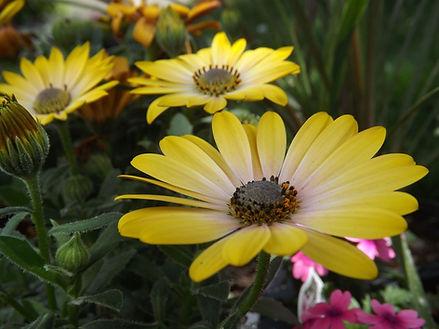 Daisy (Garden)
