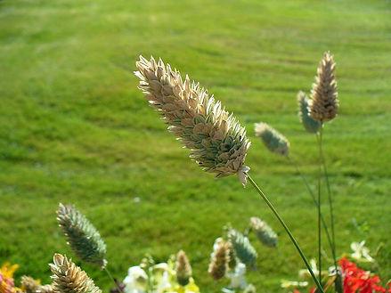 Canary Grass