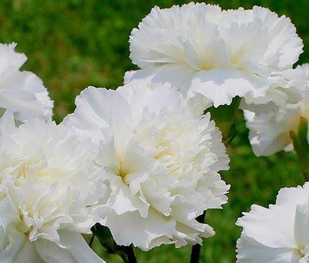 Carnation (white)