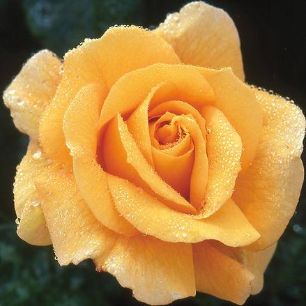 Glenfiddich Rose