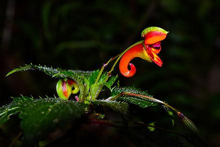Elephant Trunk Flower