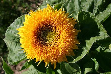 Sunflower (dwarf)