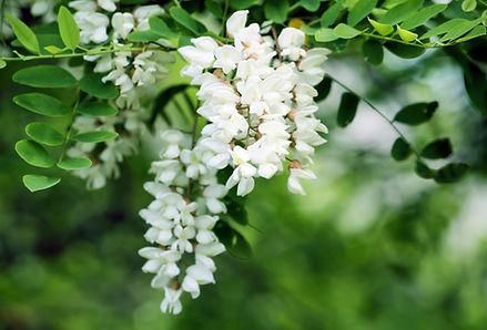 Acacia (White)