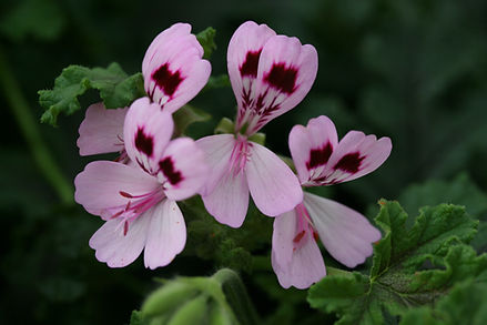 Geranium (Oak-leaved)