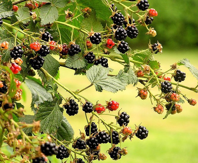 The Bramble Bush