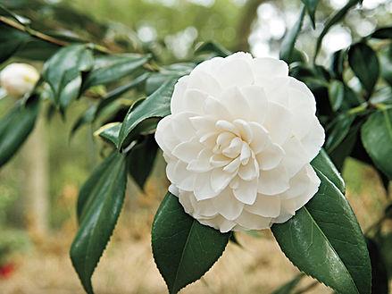 Camellia (white)