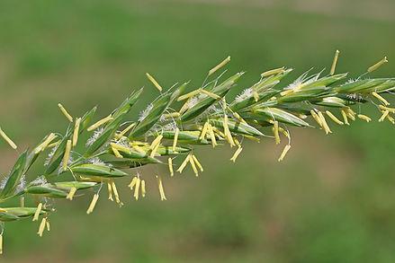 Darnel (Rye Grass)