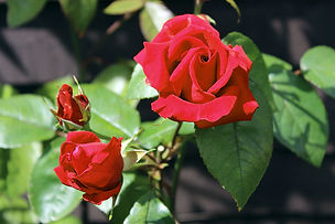 Rob Roy rose