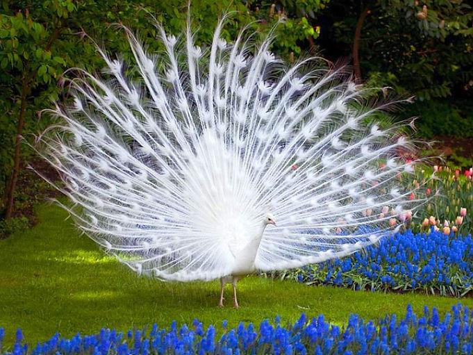 Peacocks in the Glen