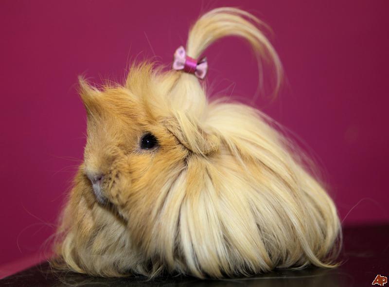 A Pony Tail Pig Tail