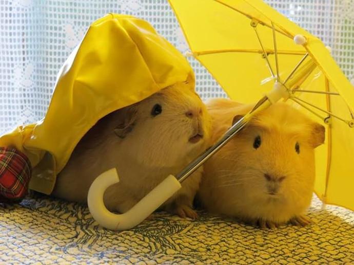 guineapigumbrella23.jpg