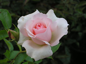 Rose (Mother's Love)