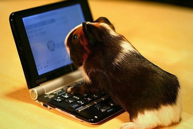 online-guinea-pig-100453435-primary.idge